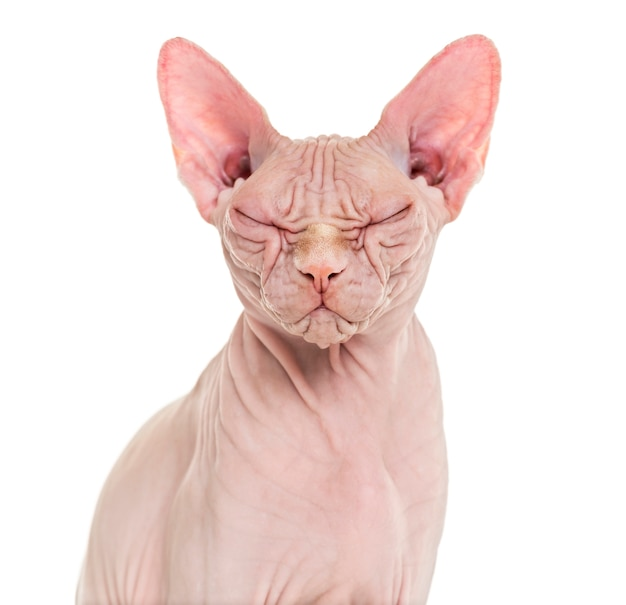 Sphynx hairless cat posiert isoliert