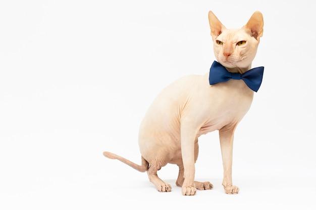 Sphynx-katze mit fliegekragen, die auf weißem hintergrund sitzt, erschossen im studio