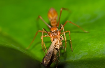 Spider Kerengga Ameisenähnlicher Jumper, wie es das Insekt auf grünem Blatt isst