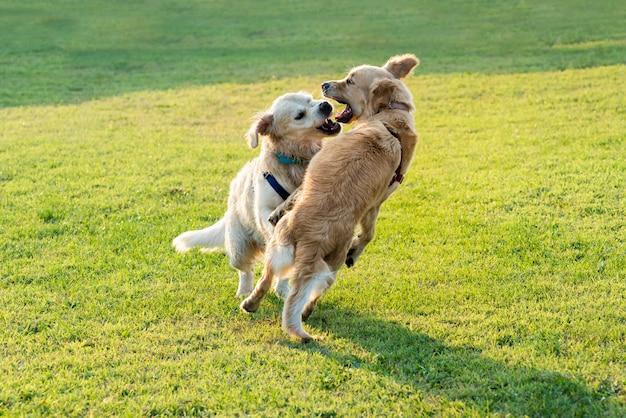 Spielen mit zwei glückliches golden retriever-hunden