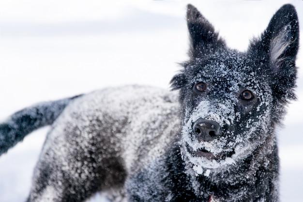 Spielerische schwarze hundenahaufnahme auf weißem schnee im winter.