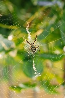 Spinne argiope bruennichi im netz im garten