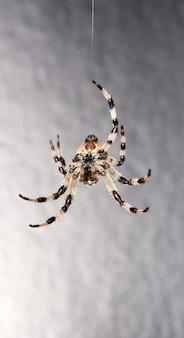 Spinne auf grauem hintergrund