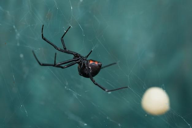 Spinne der schwarzen witwe und eibeutel