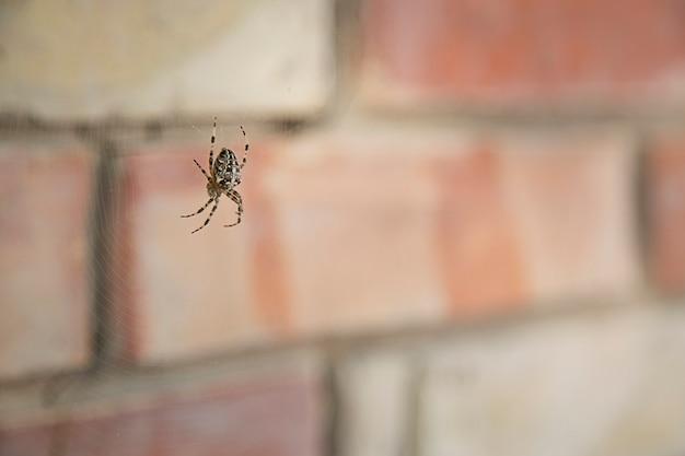 Spinne gartenkreuzspinne (lat. araneus)