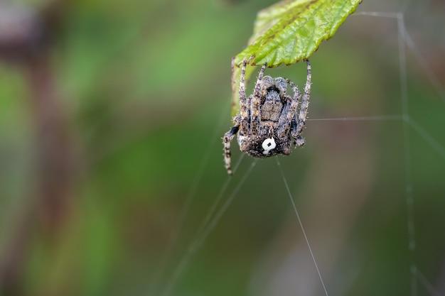Spinne in ihrer natürlichen umgebung mit spinnennetz.