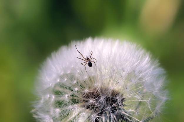 Spinne mit einem auge auf der oberfläche kriecht balogo löwenzahn