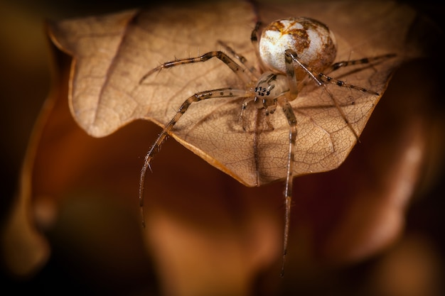 Spinne mit weißem kokon läuft auf dem herbstblatt und schaut nach unten