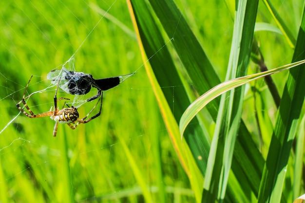 Spinne und sein opfer auf dem spinnennetz mit feldhintergrund.