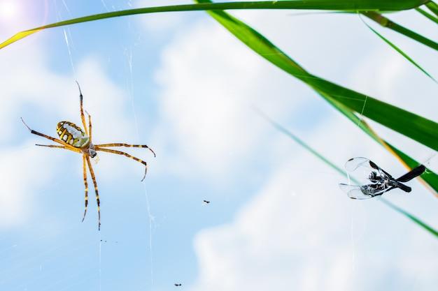 Spinne und sein opfer auf dem spinnennetz mit unschärfehimmelhintergrund.