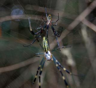 Spinnen tier