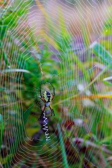 Spinnengarten-spinne araneus art der spinnen-araneomorphae aus der spinnenfamilie