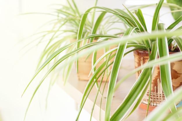 Spinnenpflanze chlorophytum comosum variegatum in blumentöpfen auf der fensterbank