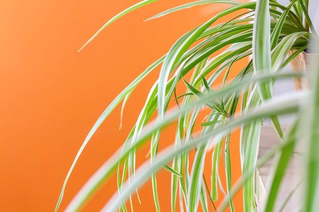 Spinnenpflanze im zimmer mit orangefarbener wand chlorophytum laxum bichetii-gras drinnen auf orangefarbenem hintergrund