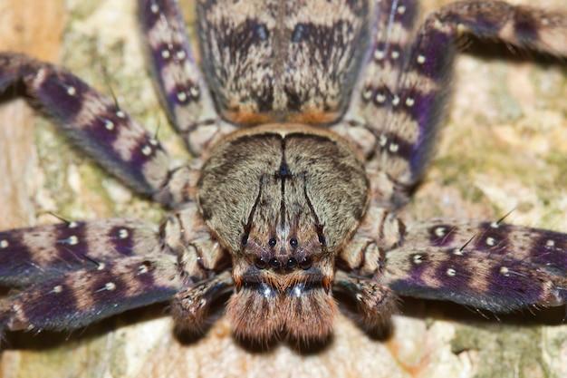 Spinnenpflanzen (tarantula), heteropoda lunula