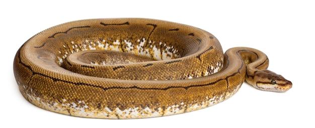 Spinner python royal python, ball python - python regius spinner ist die farbe