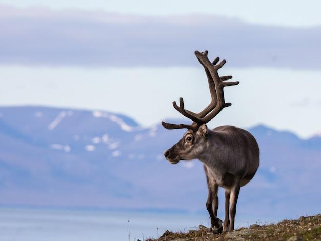 Spitzbergen männliches rentier mit großem geweih, das im sommer in björndalen geht, spitzbergen