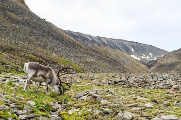Spitzbergen männliches rentier mit großem geweih, das im sommer in longyeardalen weidet, spitzbergen