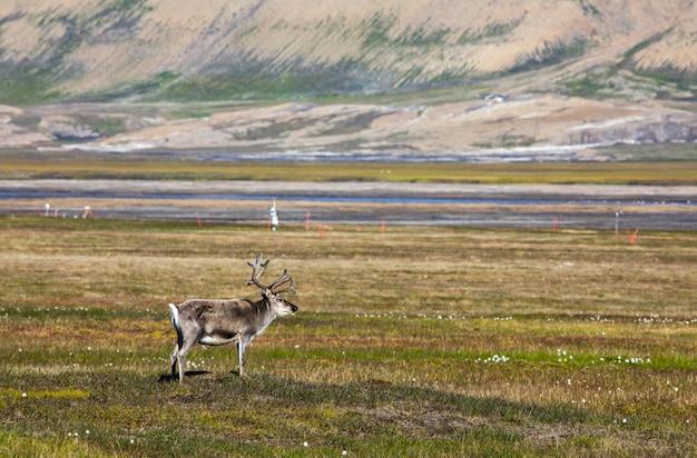 Spitzbergen-rentier, das auf der tundra im sommer bei spitzbergen steht