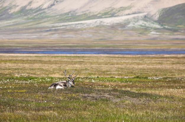 Spitzbergen-rentier, das im sommer in spitzbergen auf der tundra liegt