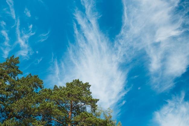 Spitze der kiefern gegen den blauen himmel mit wolken. tageslicht.