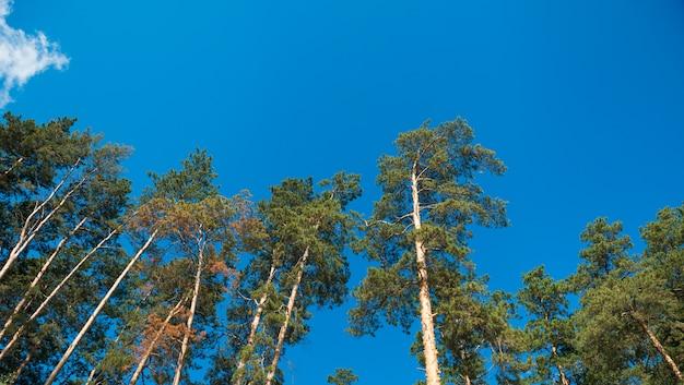 Spitze der kiefern gegen den blauen himmel. tageslicht.