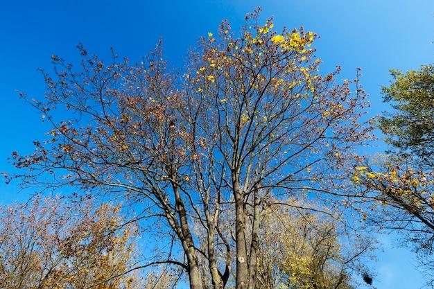 Spitze eines ahornbaums mit trockenen blättern vergilbt. nahaufnahme gegen den blauen himmel fotografiert.