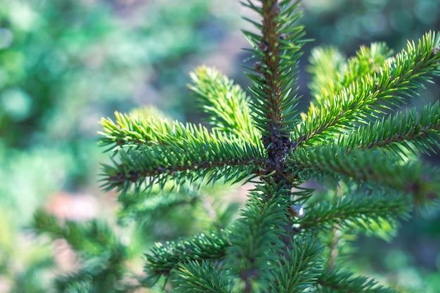 Spitze eines grünen weihnachtsbaums, selektiver fokus. weihnachtsstimmung, unscharfer hintergrund mit bokeh. weihnachten feiern.