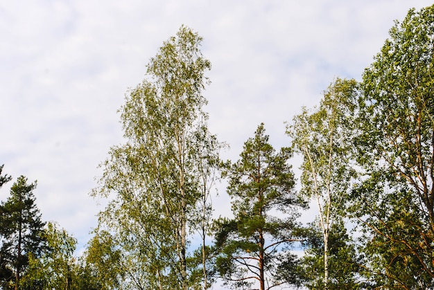Spitze von birken und von kiefern im frühjahr