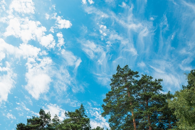 Spitzen von kiefern und birken gegen einen blauen himmel mit wolken. tageslicht.