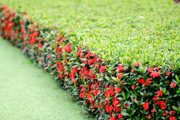 Spitzenblume im garten mit natürlichem hintergrund