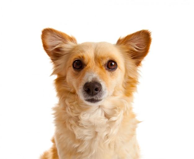 Spitzhund auf weißem hintergrund