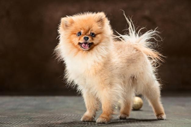 Spitzhund posiert
