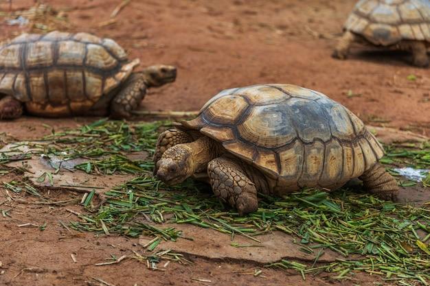 Spornschildkröte (geochelone sulcata), die im garten stillsteht