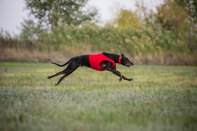 Sportlicher hund beim köder-coursing im wettbewerb