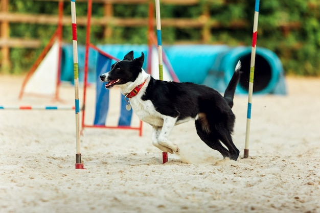 Sportlicher hund, der während der show im wettbewerb auftritt