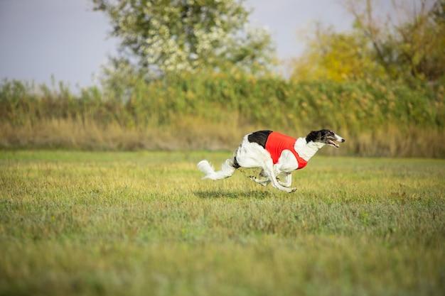 Sportlicher hund, der während des köderlaufs im wettbewerb auftritt.