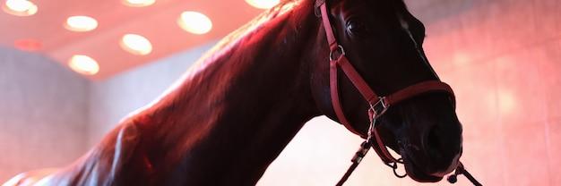 Sportpferd steht nach dem training in der pferdesolariumnahaufnahme