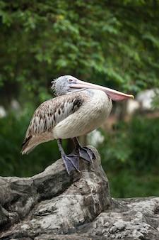 Spot-billed pelican oder grey pelican (pelecanus philippensis)