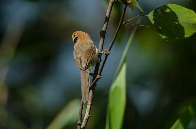 Spot-breasted parrotbill auf niederlassung in der natur