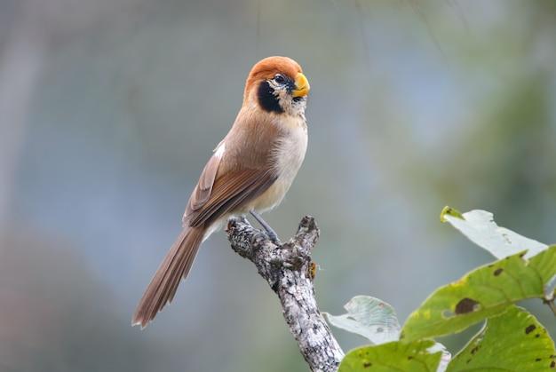 Spot-breasted parrotbill paradoxornis guttaticollis schöne vögel von thailand