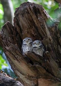 Spot owlet in der holzhöhle