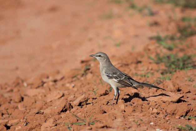 Spottdrossel in arizona