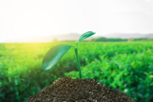 Sprießen sie das wachsen auf dem boden mit teefeldhintergrund, neuem leben und hoffnungskonzept