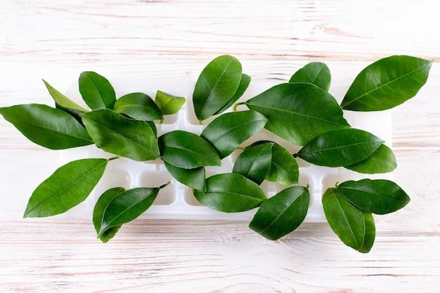 Sprießende zitrone in wasser. zitronenblätter in einem behälter mit wasser. anbau exotischer pflanzen zu hause. heimpflanzen