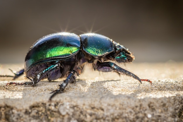 Spring dor käfer (trypocopris vernalis) nahaufnahme makrofoto