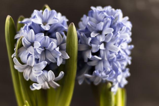 Spring purple hyazinthen stehen