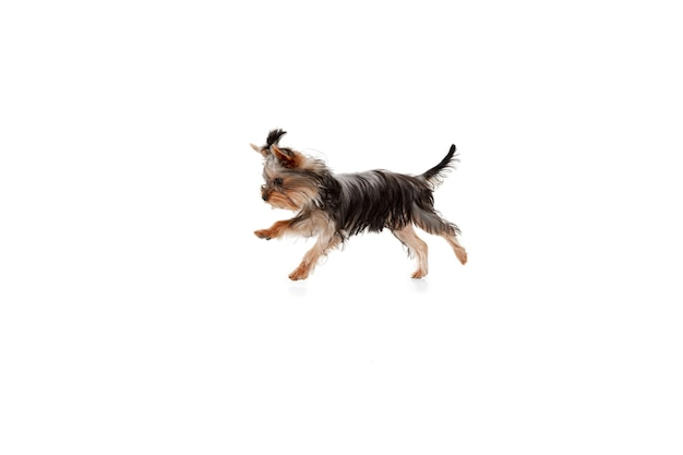 Springen. kleiner yorkshire-terrierhund spielt. nettes spielerisches hündchen oder haustier lokalisiert auf weißem studiohintergrund. konzept der bewegung, bewegung, haustiere lieben. sieht glücklich, erfreut, lustig aus. exemplar für anzeige