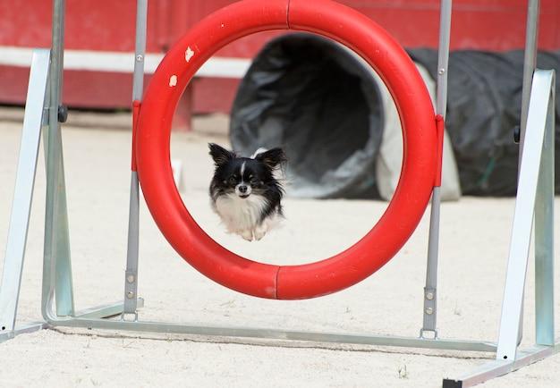 Springende chihuahua