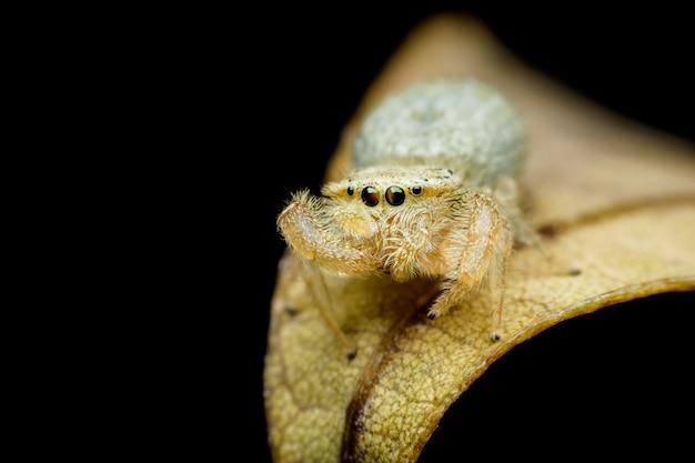 Springende spinne auf gelbem blatt